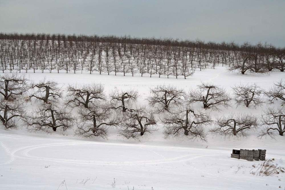 Winter in the Orchard #1